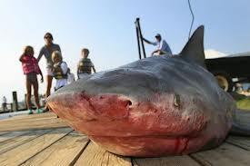requin-bouledogue2